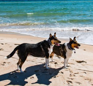 Two smooth Collies enjoy the beach on St. George Island, Florida